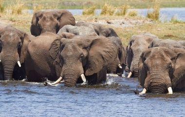 Highlight auf Botswana Safaris: Elefanten im Chobe Nationalpark