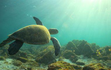 Meeresschildkröten auf Galapagos