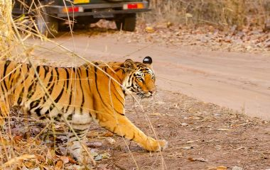 Enchanting Travels - Tiger Safaris in India - A tiger crossing the safari track inside bandhavgarh tiger reserve during a wildlife