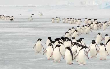 Enchanting Travels Antarctica Tours Annual migration of Adélie penguins