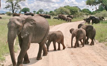 Elefantenherde auf staubiger Straße in Tarangire