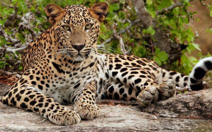 Young Leopard (Panthera pardus kotiya), Yala National Park, Sri Lanka