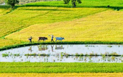 Zwei Bauern gehen mit Ochsen durch Reisfelder im Mekong-Delta, Vietnam