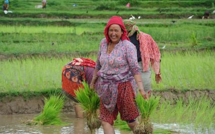 Rice farming in Kathmandu Valley