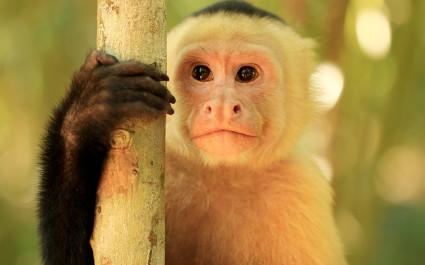 Capuchin monkey in Monteverde