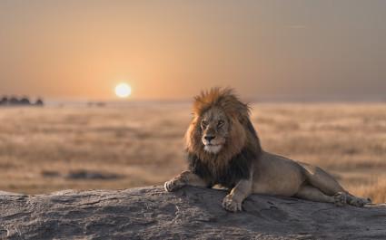 Löwe liegt bei Sonnenaufgang auf einem Felsen in Laikipia, Afrika