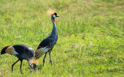 Grey Crowned Cranes in Volcanoes