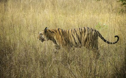 Enchanting Travels Tiger Safaris in India - Royal Bengal Tiger at Kanha Tiger Reserve
