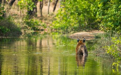 Rajbhera Male Cub at Bandhavgarh National Park