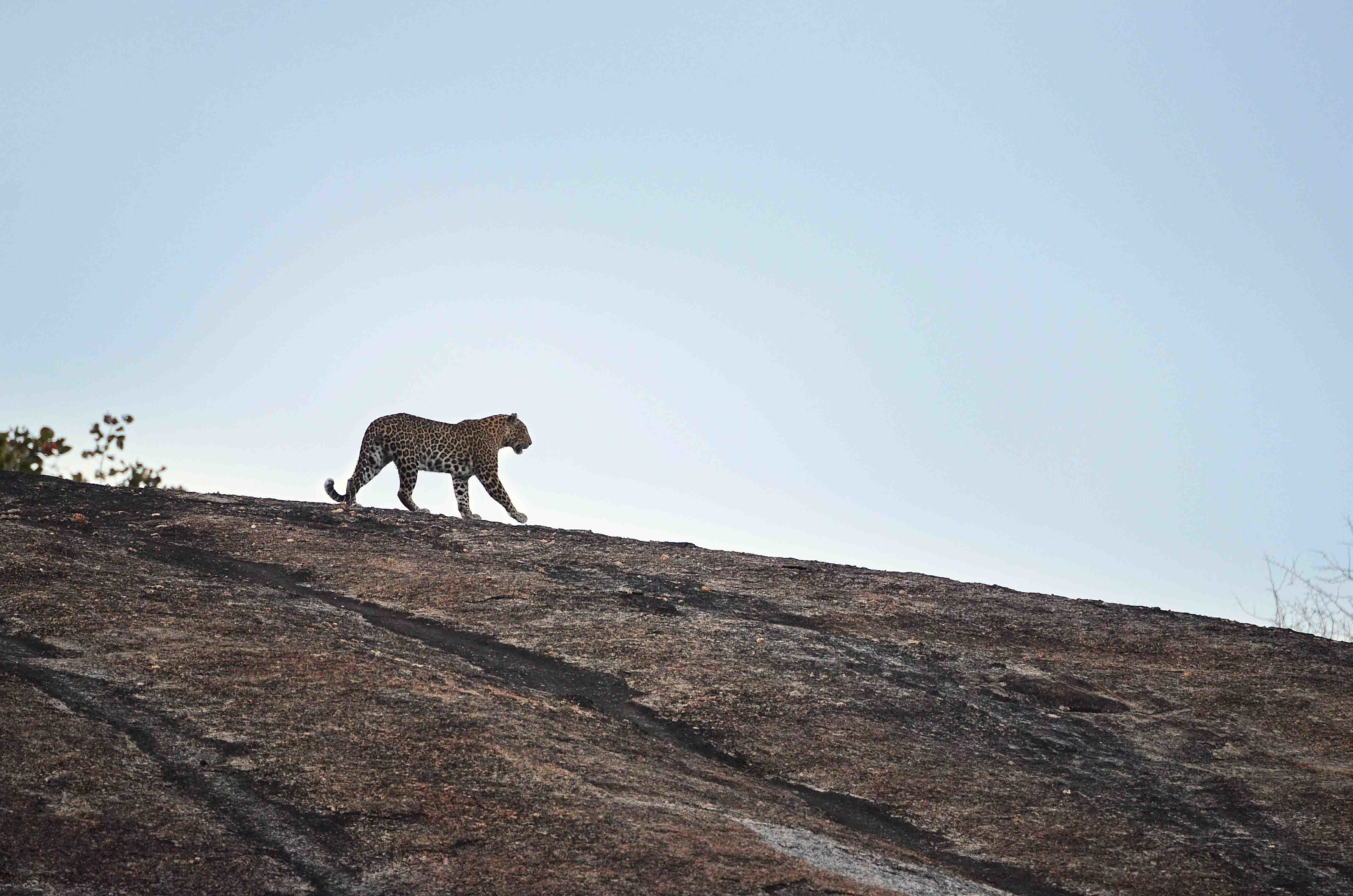 Leoparden hautnah erleben