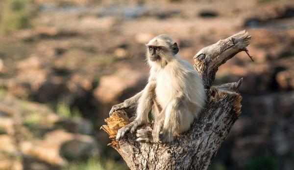 Ein Hanuman-Langur Lagur Affe sitzt auf einem Baumstamm im indischen Dschungel