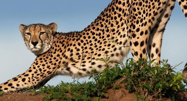 Leopard im Phinda Wildschutzgebiet