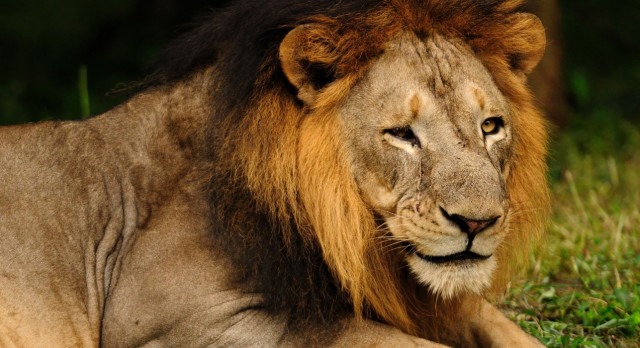 Indien Safari: Löwe im Gir Nationalpark