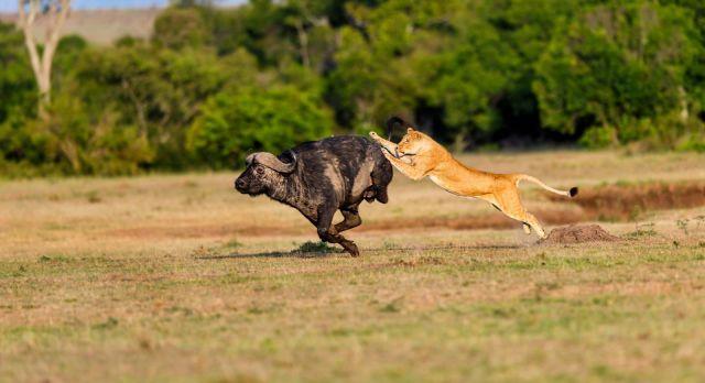 Lioness hunting a Buffalo in Masai Mara, Kenya, Africa, shutterstock_236930143