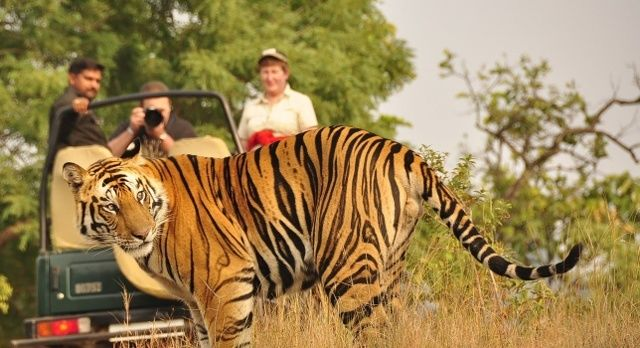 The Real Jungle Book: Your India Safari - Pench tiger
