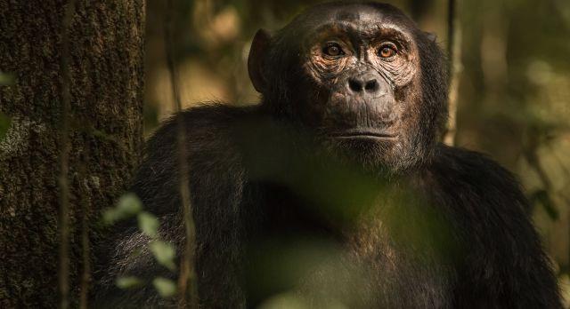 Chimp at Kibale