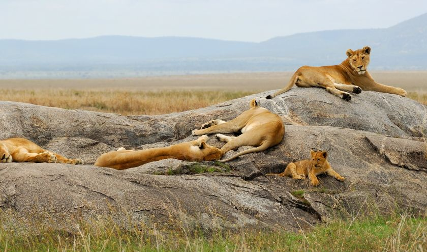 Lioness with cub are resting on the rocks