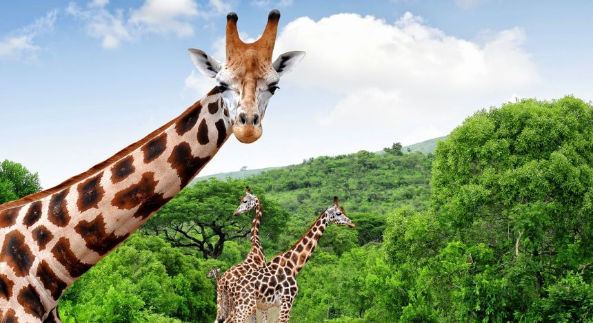 Giraffe blickt in die Kamera