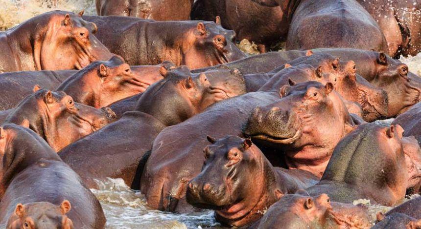 Flusspferde im Luangwa-Nationalpark in Südafrika