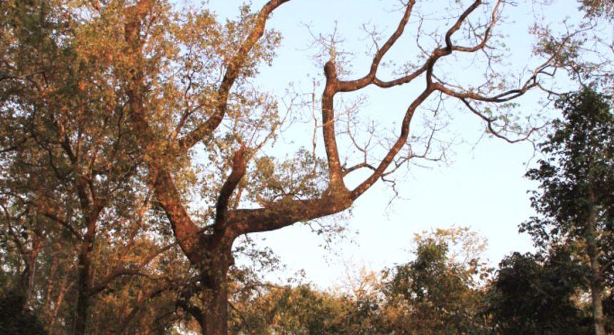 Ein alter Baum im Manas-Nationalpark