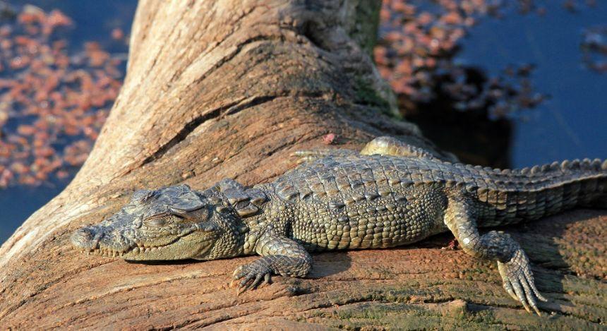 Krokodil sonnt sich auf Felsen
