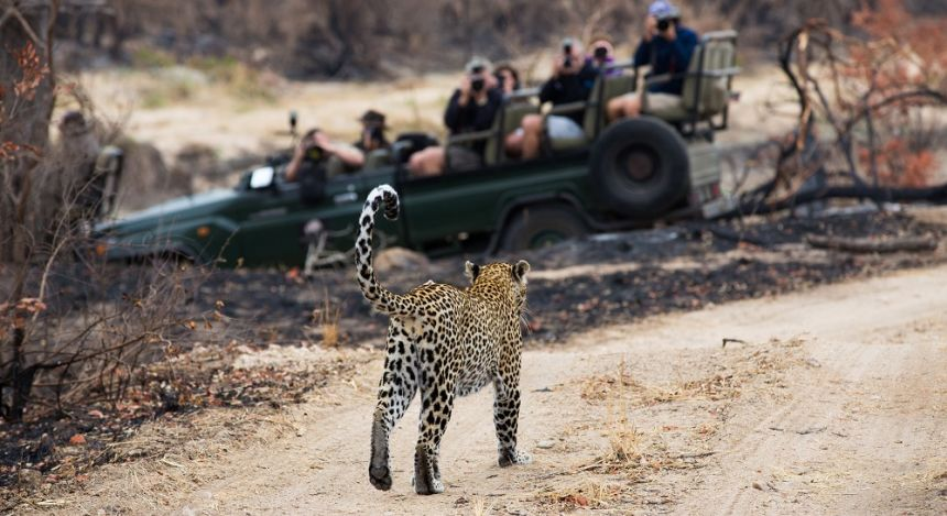 Enchanting Travels A photograph of a safari vehicle full of tourists watching a leopard, Panthera pardus, walking on a dirt road at Elephant Plains, Sabi Sands Game Reserve