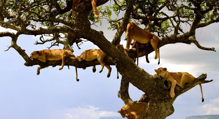 Löwen hängen in Baum