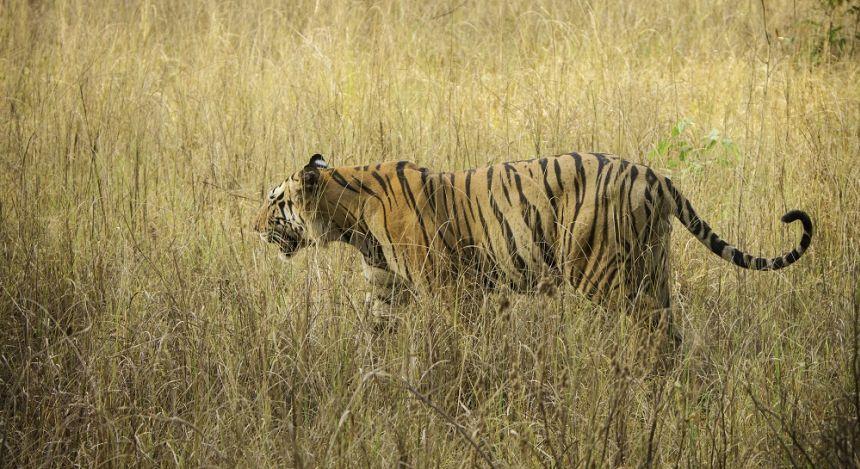 Enchanting Travels Tiger Safaris in India - Royal Bengal Tiger at Kanha Tiger Reserve