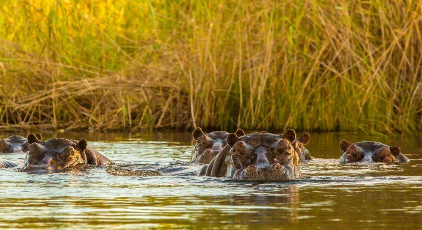 Flusspferde im Wasser