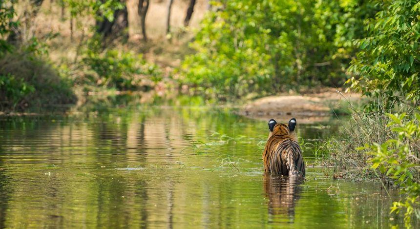 Tiger durchquert einen Fluss