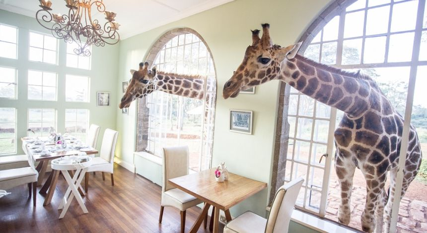 Two giraffes through the window