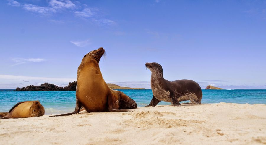 Galapagos sea lions (Zalophus californianus wollebacki) on the beach, Galapagos Islands