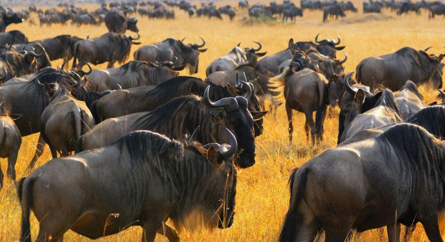 Gnus auf Serengeti Safari
