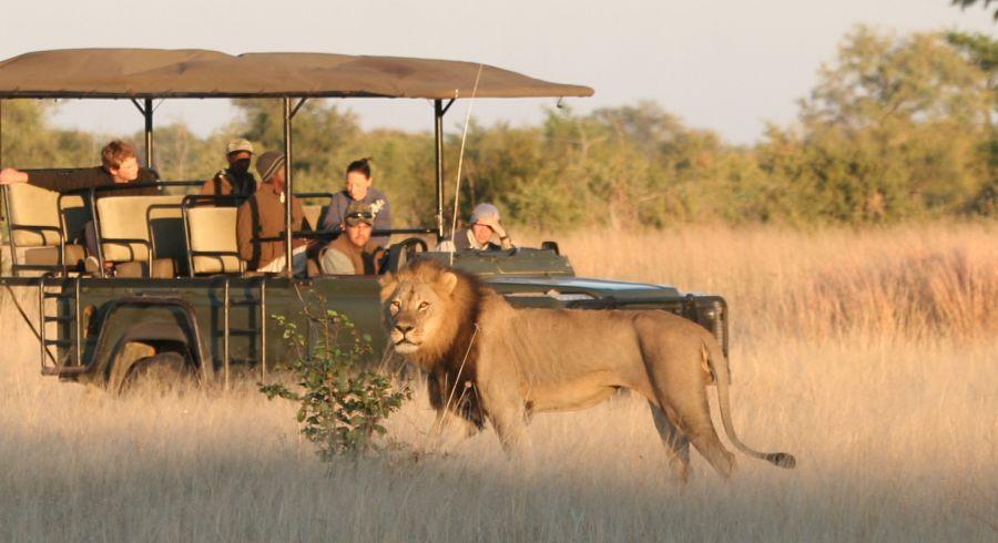 Löwen auf Safari in Afrika
