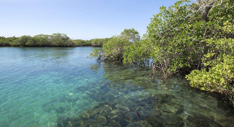 Mangrovenbäume auf der Isla Isabela