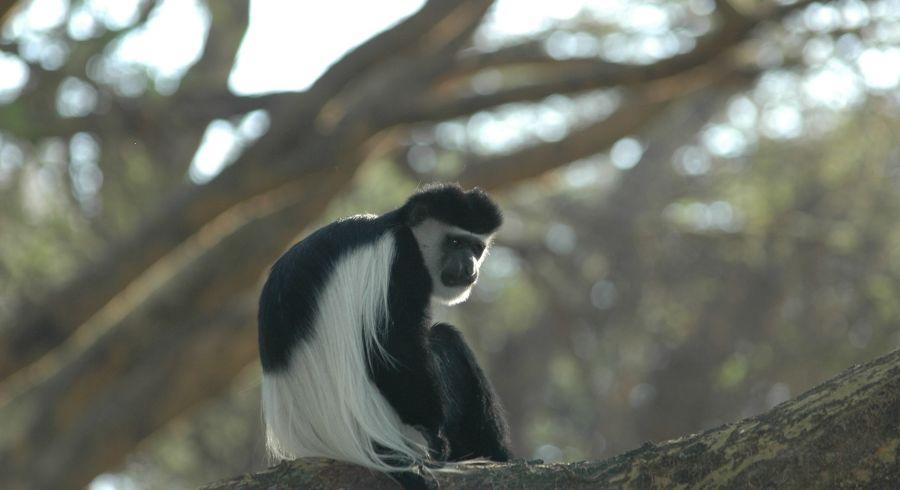 Colobus-Affe im Jozani Forest
