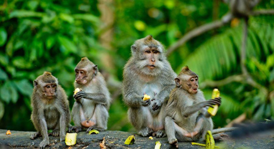 Affen im Affenwald, Ubud