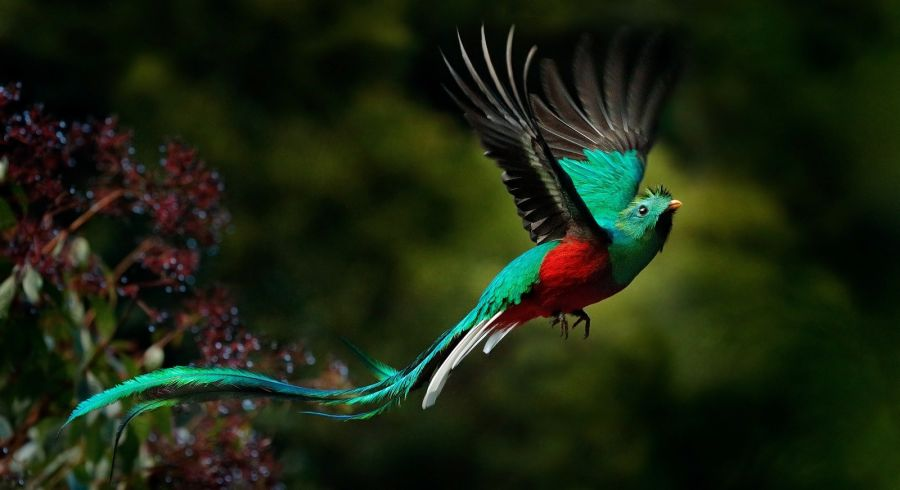 Enchanting Flying Resplendent Quetzal, Pharomachrus mocinno, Savegre in Costa Rica, with green forest in background. Magnificent sacred green and red bird. Action flight moment with Resplendent Quetzal.