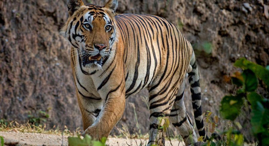 Photo Courtesy - Timothy Brooks; Tigers
