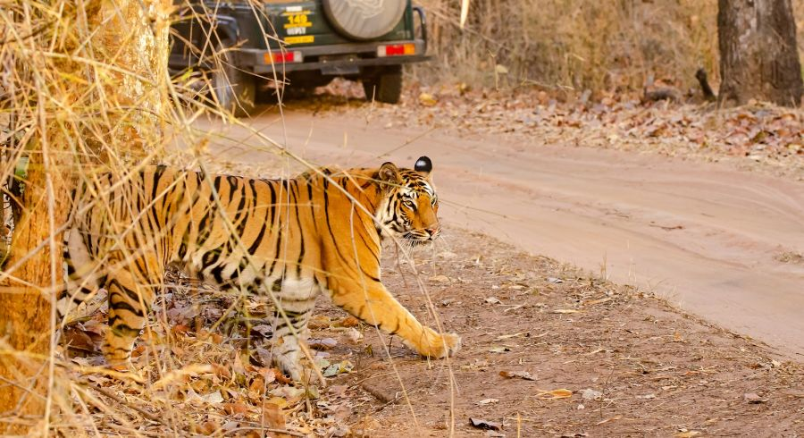 A tiger crossing the safari track inside bandhavgarh tiger reserve during a wildlife safari