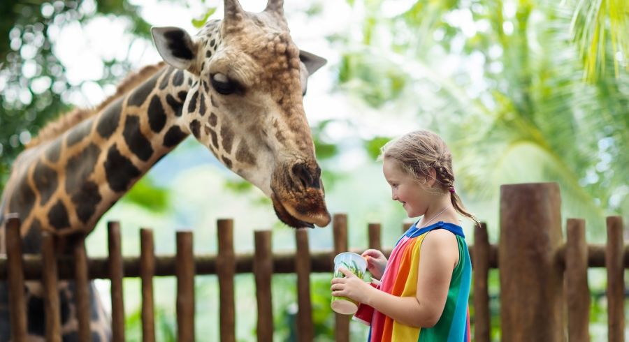 Children feed giraffes in tropical safari park at Singapore