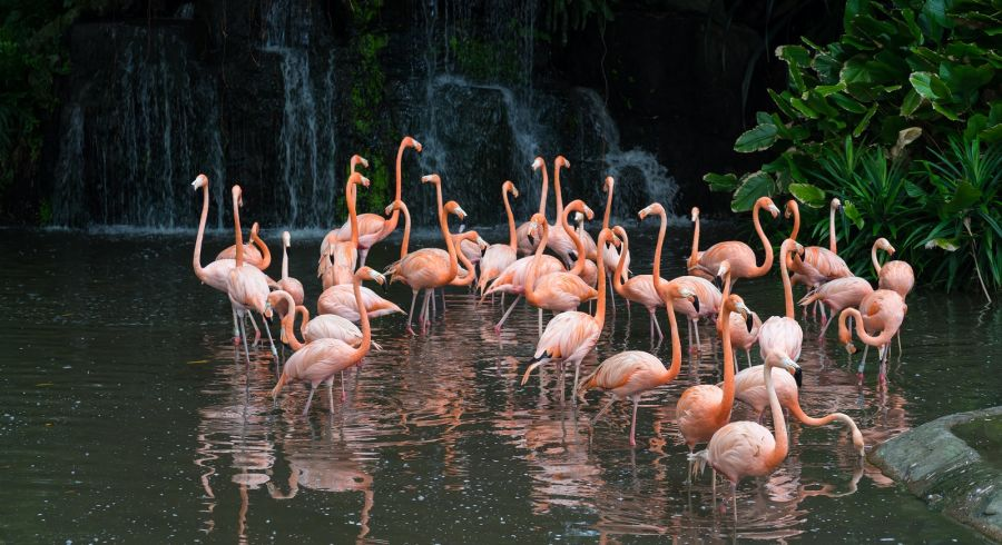 Pink flamingos at Jurong Bird Park in Singapore