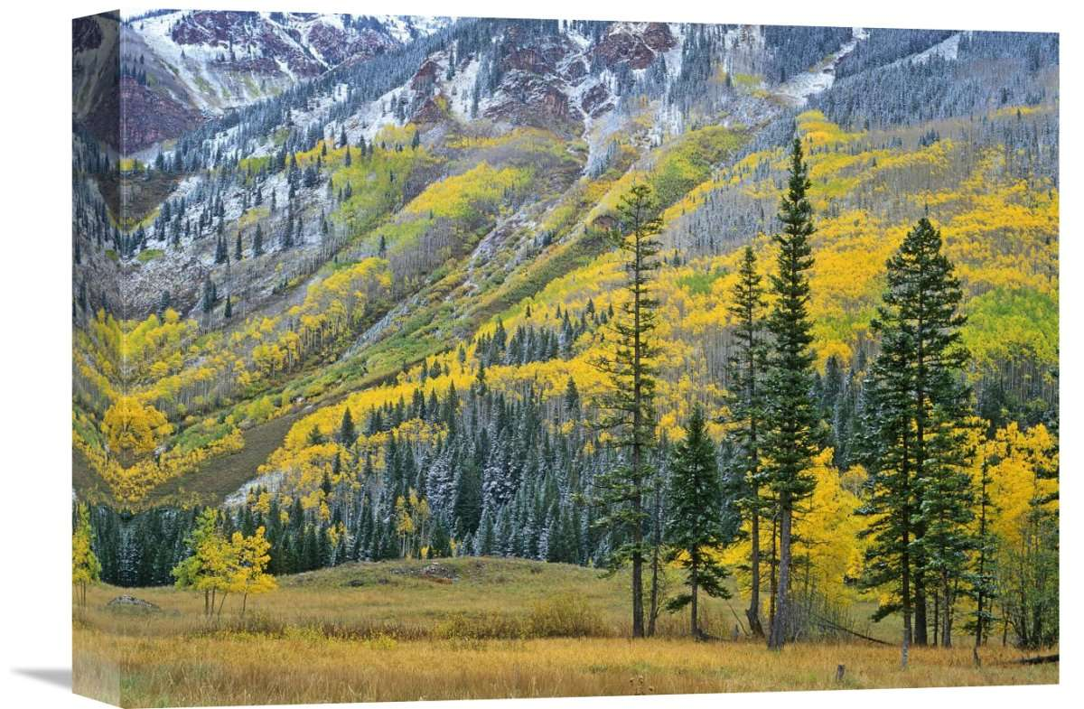 Aspen Grove In Fall Colors, Maroon Bells, Snowmass Wilderness, Colorado