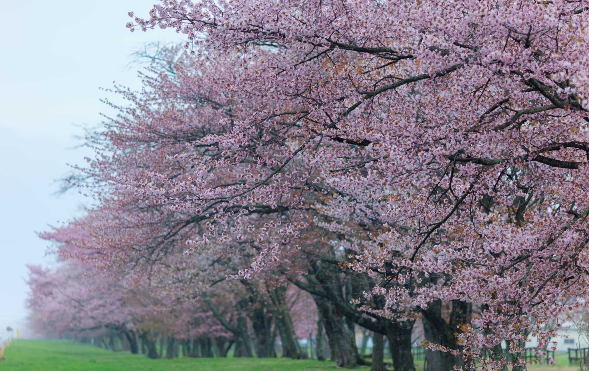 Cherry Trees lined on 20-Ken Road of Shizunai