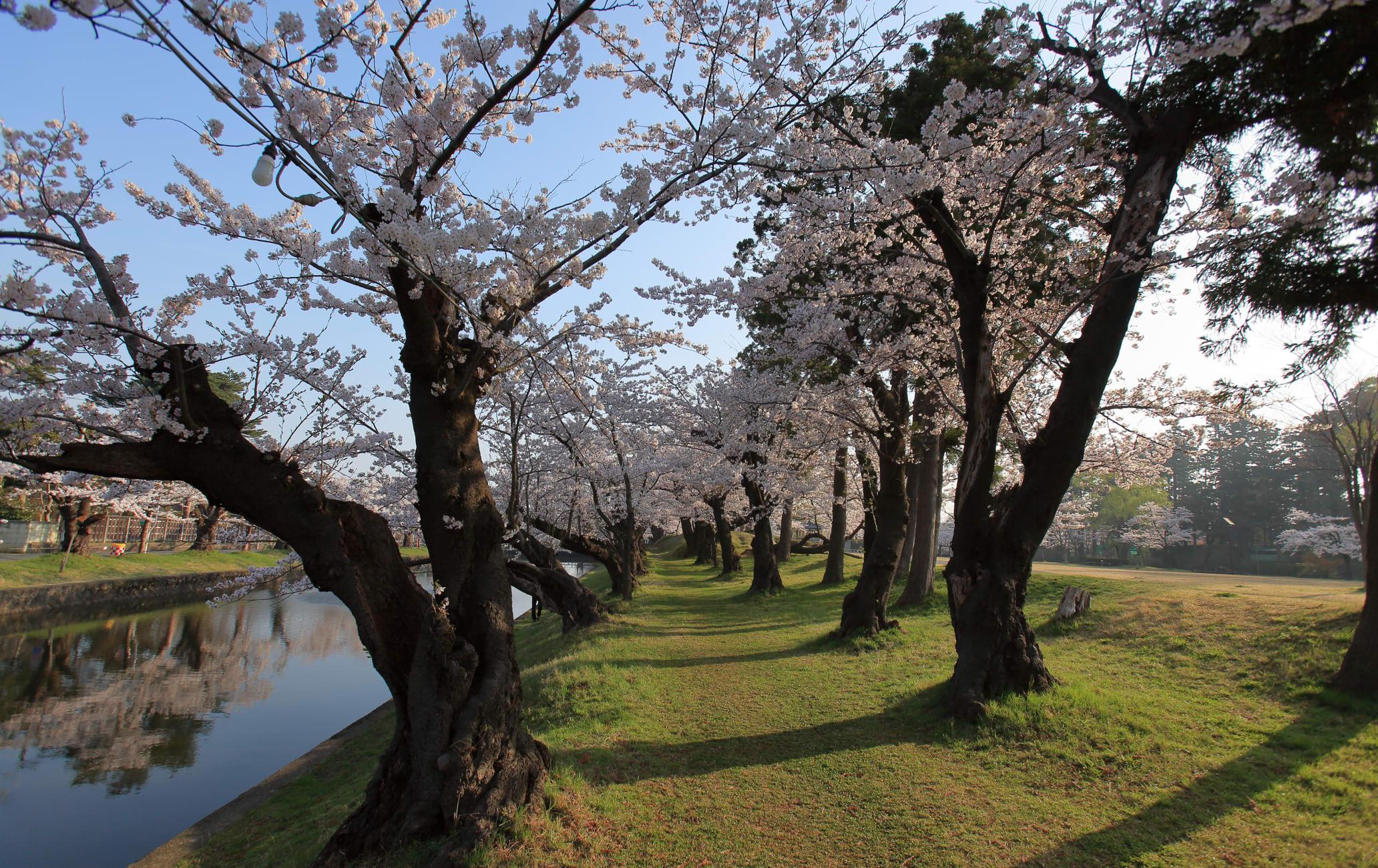 tsuruoka park-cherry blossom