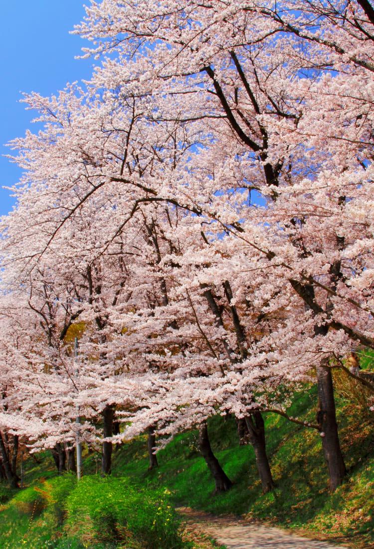 Eboshiyama Park Cherry Blossoms