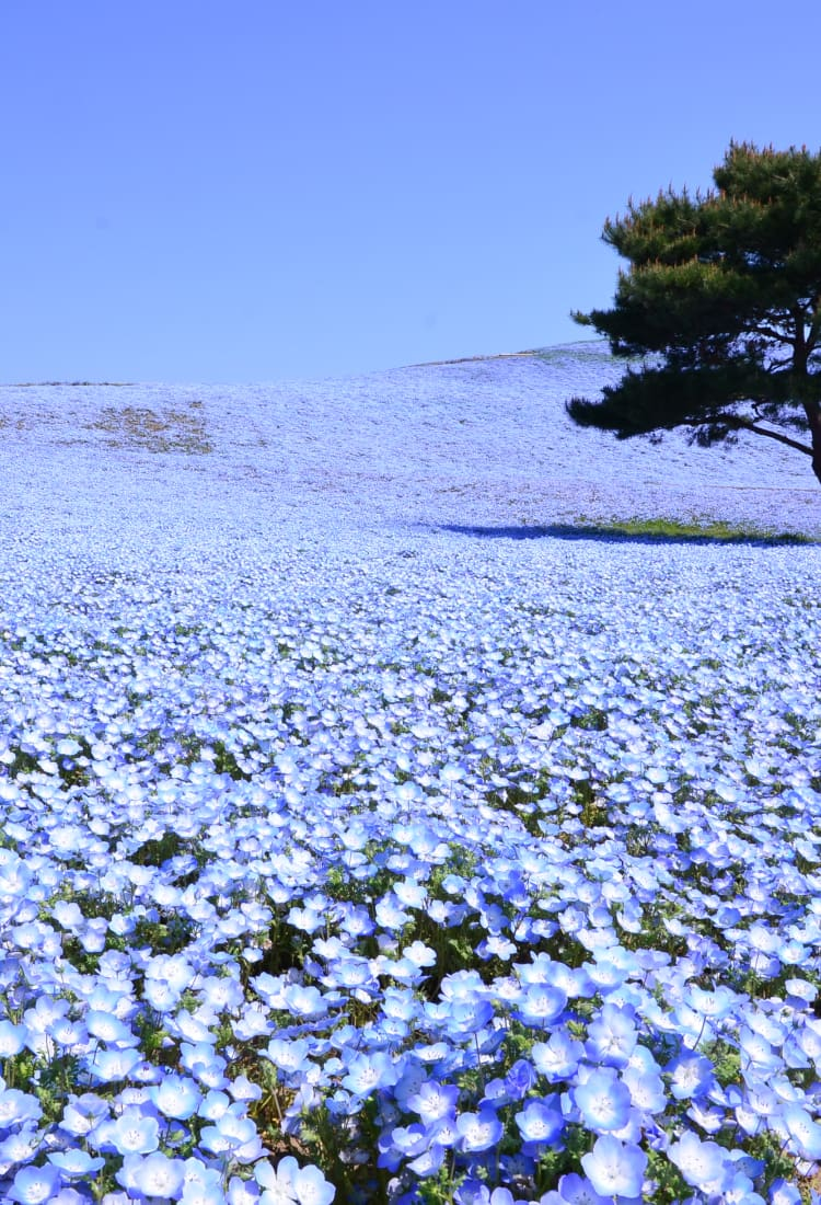Nemophila & Kochia at Hitachi Seaside Park