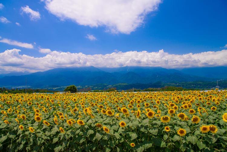 Heidi's Village & Sunflower bloom