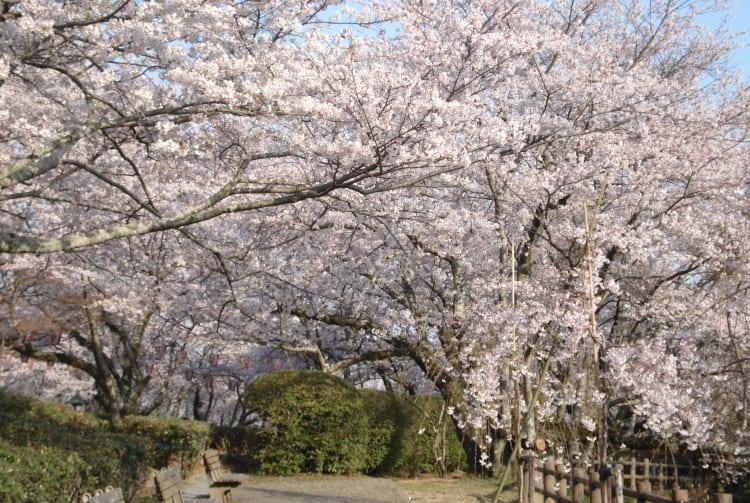 Seibu Park-cherry blossom