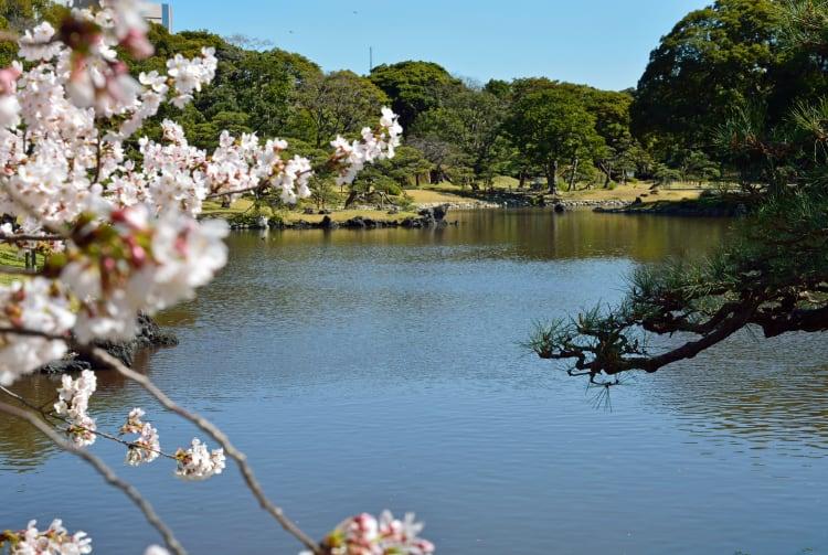 Sakura of Hama-Rikyu Onshi Teien-SPR